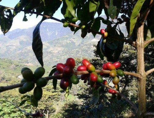 Guatemala – Finca Santa Elisa
