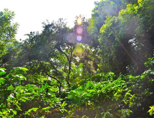 Costa Rica – Hacienda Sonora Sarchimor