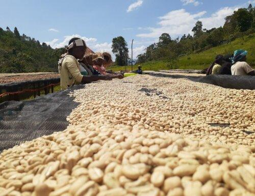 Ethiopia – Daye Bensa Grade 4 Organic
